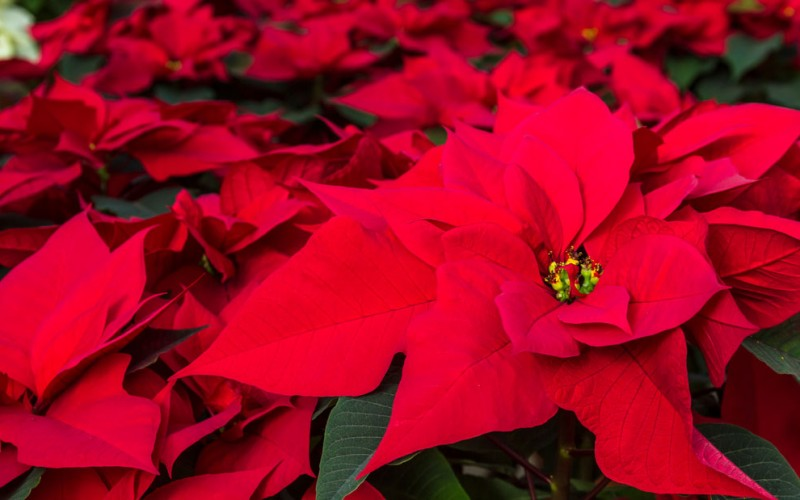 Are poinsettias poisonous?